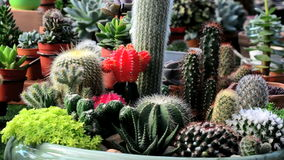 A variety of cactus in the nursery. Thailand , right pan stock video