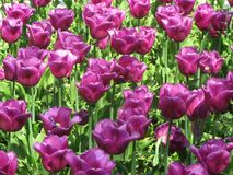 Purple tulips in the gardens of spring Sofia. stock photos