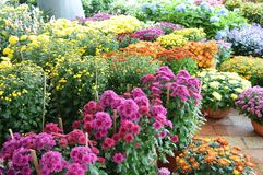 Variety of Chrysanthemum Flowers Stock Images