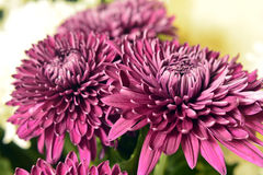 Variety of chrysanthemums. Stock Image