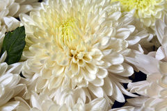 Variety of chrysanthemums. Royalty Free Stock Photography