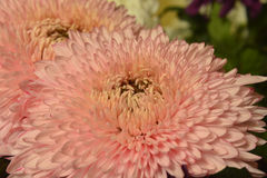 Variety of chrysanthemums. Stock Photography