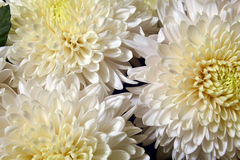 Variety of chrysanthemums. Stock Photos