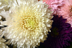 Variety of chrysanthemums. Stock Images