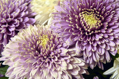 Variety of chrysanthemums. Royalty Free Stock Images