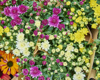 Variety of colorful Chrysanthemums Stock Photography