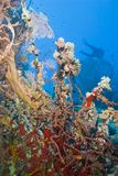 Variety of colorful coral reef with scuba diver. Stock Photography
