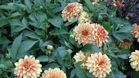 A variety of colorful dahlia flowers in summer garden stock footage