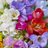 Variety of colorful freesias closeup Stock Photo