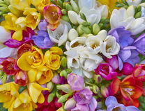 Variety of colorful freesias closeup Royalty Free Stock Photos