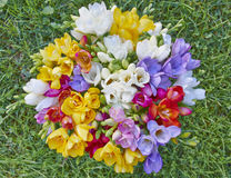 Variety of colorful freesias Royalty Free Stock Photos
