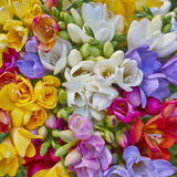 Variety of colorful freesias Royalty Free Stock Photography