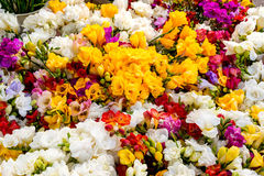 Variety of colorful freesias, floral background Stock Photo