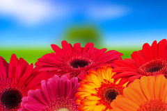 Variety of colorful gerbera flowers closeup, natural background Royalty Free Stock Image