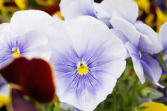 Variety of colorful pansies close up Royalty Free Stock Photography