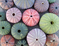 Variety of colorful sea urchins Stock Photography