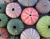 Variety of colorful sea urchins Royalty Free Stock Photography