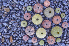 Variety of colorful sea urchins on black pebles beach Stock Images
