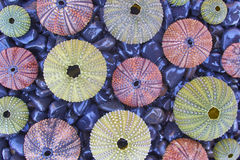 Variety of colorful sea urchins on black pebles beach Royalty Free Stock Image