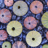 Variety of colorful sea urchins on black pebles beach Stock Photos