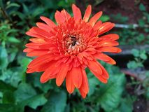 Gerbera daisy flower. The variety of colors you can get with gerbera daisies are nearly limitless. Gerberas prefer full sun spaces with loose soil that drains Royalty Free Stock Images