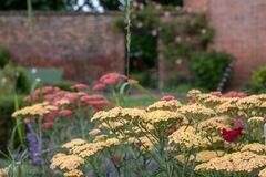 Yellow achillea flowers, photographed in mid summer at in the historic walled garden at Eastcote House Gardens, London UK