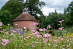 Pink geranium flowers, photographed in mid summer at in the historic walled garden at Eastcote House Gardens, London UK
