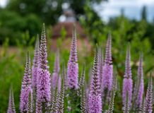 Tall purple Veronica flowers, photographed in mid summer at in the historic walled garden at Eastcote, London UK