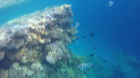 A variety of coral fish swimming in transparent water.  stock video