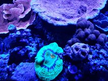 Variety of corals in a saltwater aquarium. Nature and fauna, underwater view, sea and ocean ecosystem royalty free stock images