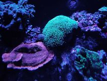 Variety of corals in a saltwater aquarium. Nature and fauna, underwater view, sea and ocean ecosystem stock photos