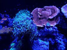 Variety of corals in a saltwater aquarium. Nature and fauna, underwater view, sea and ocean ecosystem stock images