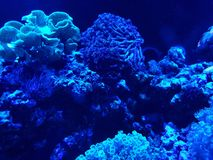 Variety of corals in a saltwater aquarium. Nature and fauna, underwater view, sea and ocean ecosystem royalty free stock photo