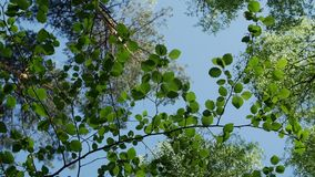 Variety crowns of the trees in the spring forest against the blue sky with the sun. Bottom view of the trees. Camera spin stock video
