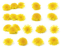 A variety of dandelion. A variety of yellow dandelion (taraxacum officinale) isolated on white background stock photos