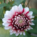 Variety of decorative dahlia Royalty Free Stock Photos