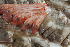 Variety of different fresh raw fishes. On ice Royalty Free Stock Images