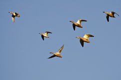 Variety of Ducks Flying in Blue Sky Stock Image