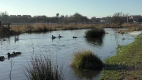 Variety of Ducks and a Goose swimming past on a snowy marshland, Doxey Marshes. stock video footage