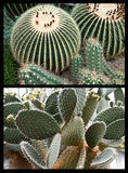 Variety of echinocacti succulent plants Royalty Free Stock Images