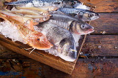 Variety of edible fresh marine fish on ice. At a market or fisheries with gurnard, dorade, mackerel, grey mullet and loup de mer viewed from above with focus to Royalty Free Stock Images