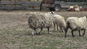 Group of farm animals. Variety of farm animals. Group of farm animals stock video