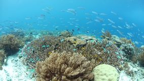 Vibrant Fish Swim Above Healthy Corals in Raja Ampat. A variety of fish, including damselfish and fusiliers, swim above a healthy coral reef in Raja Ampat stock video footage