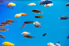 Variety of fish in a tank Royalty Free Stock Photo