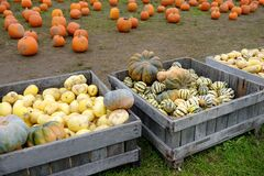 Variety of fresh healthy bio pumpkins different colors in wooden box on farmer agricultural market at autumn