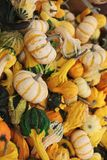 A variety of freshly picked ripe squash Stock Photography