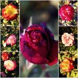 Variety of garden roses. Autumn rosegarden. Stock Image