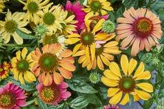 Variety of Gerber daisies closeup. Natural background royalty free stock image