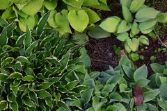 A variety of Green Hostas. In a garden setting stock photography