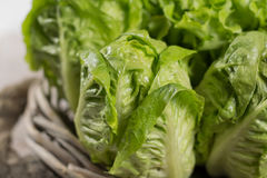 Variety of green and red, roma fresh lettuce salad leaves Stock Image